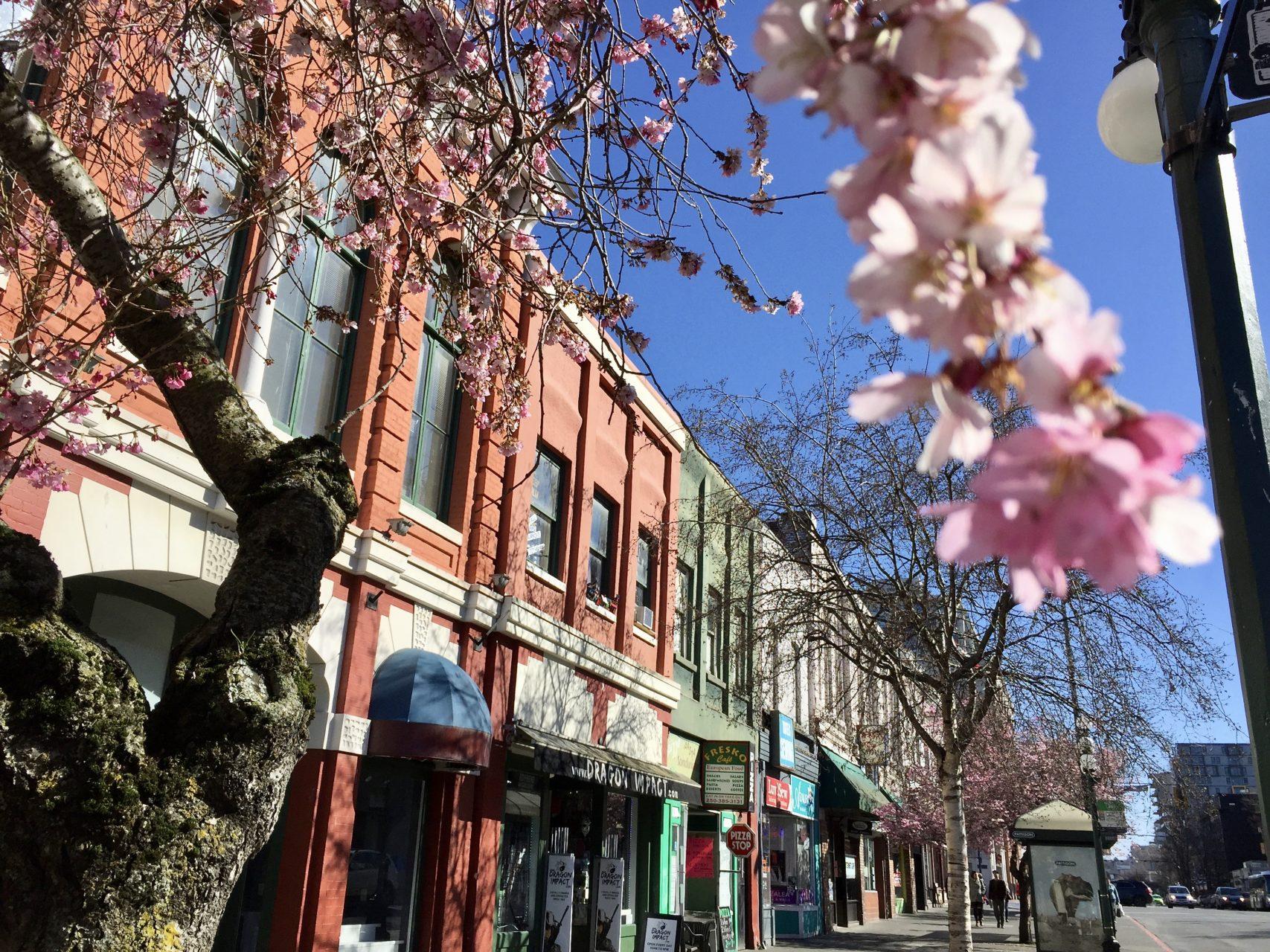 Kirschblüte in Victoria