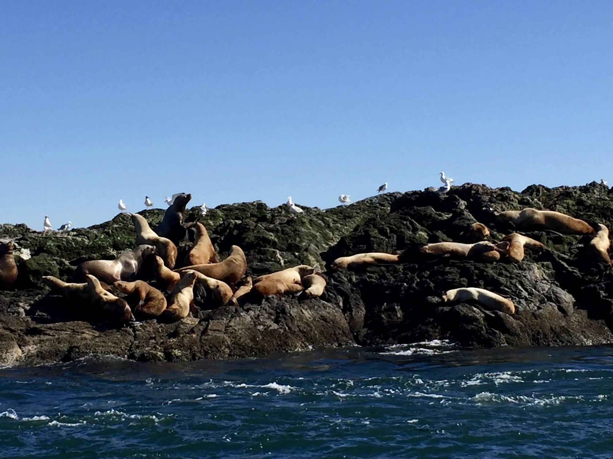 Seelöwen sonnen sich auf Felsen