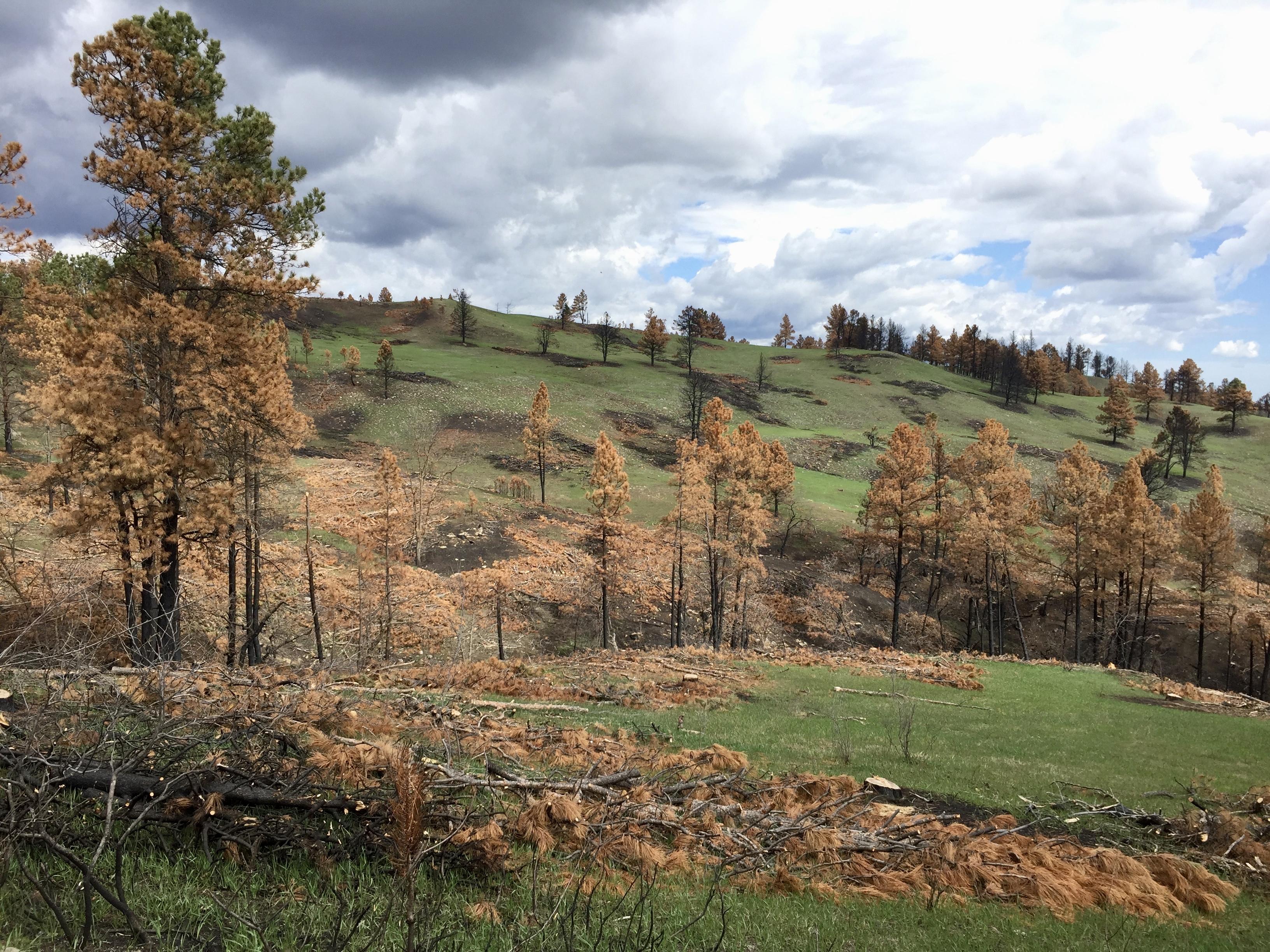 Gewitterstimmung über abgebranntem Hügel mit braunen Bäumen im Custer State Park
