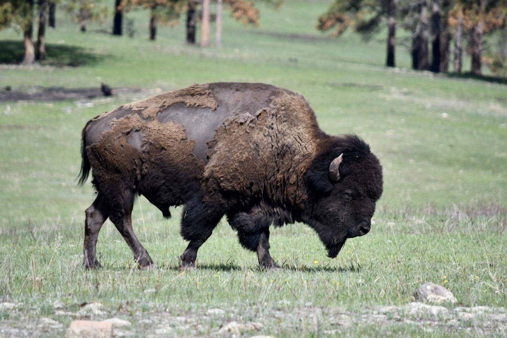 Ein alter Bison geht über die Wiese, das Fell hängt ihm in Zotteln herab als würde er sich gerade häuten