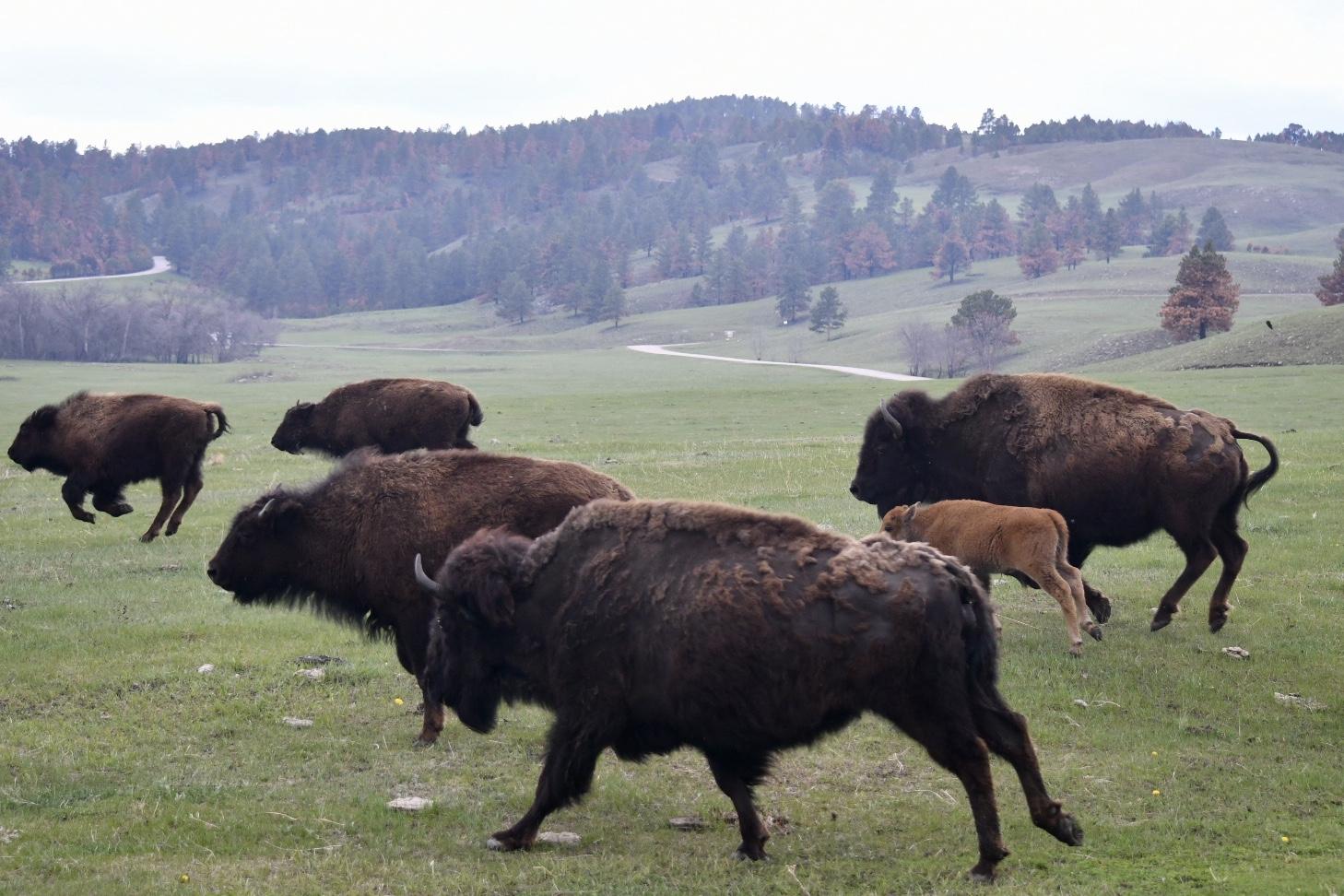 Fünf dunkle Bisons und ein helles Bisonkalb galoppieren über eine grüne Wiese im Custer State Park