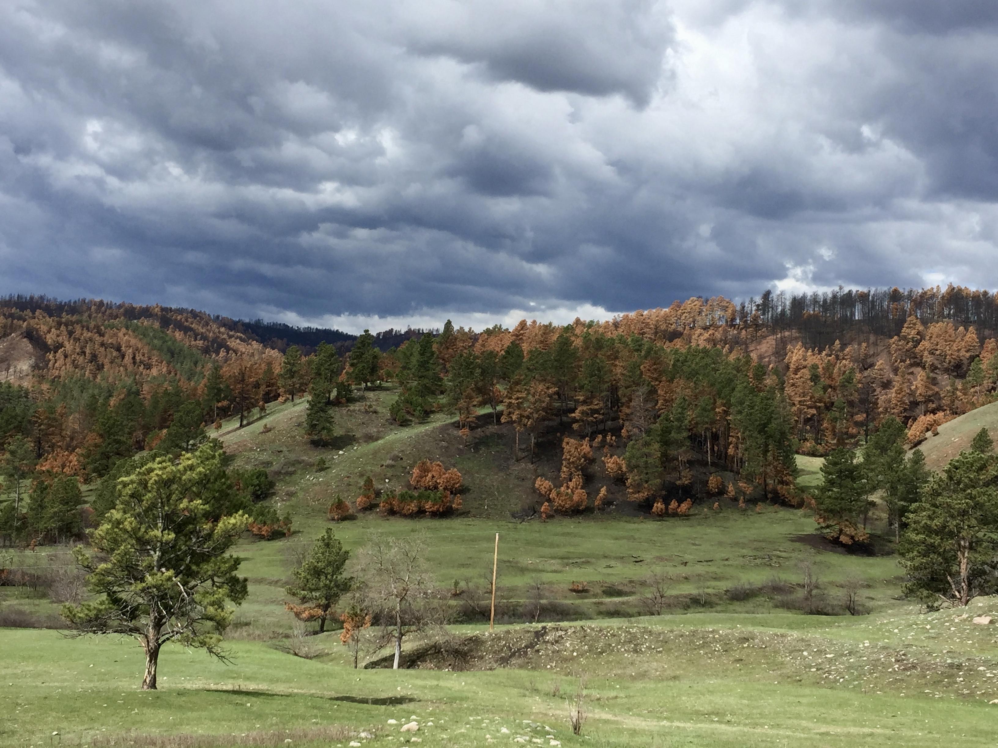 Dunkle Gewitterwolken hängen über den Hügeln des Custer State Parks - die Bäume auf den Hügeln sind halb verbrannt und braun, nur manche sind noch grün