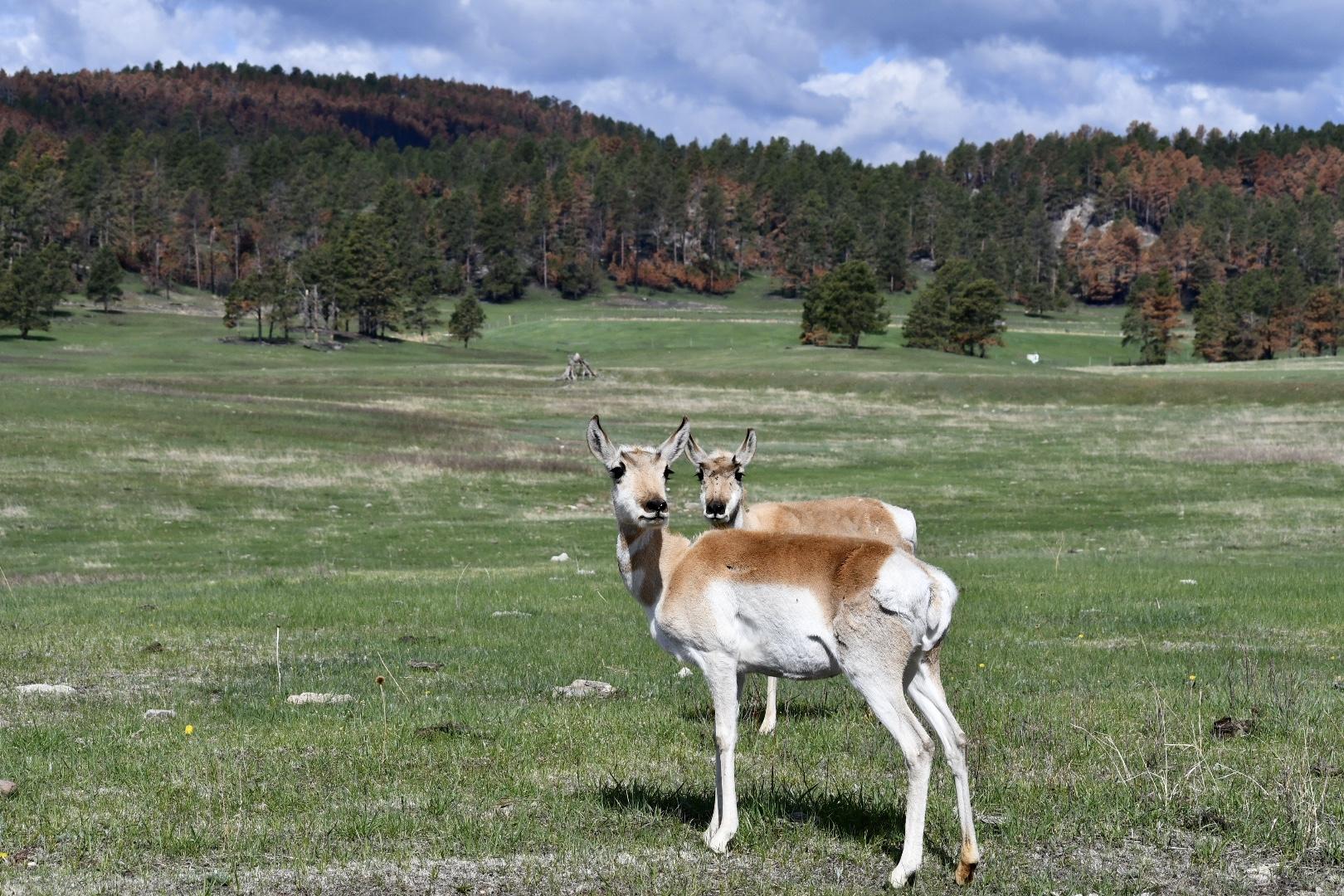 Auf einer Wiese im Custer State Park stehen zwei weiß-hellbraune Antilopen und schauen zur Kamera, im Hintergrund Nadelwald