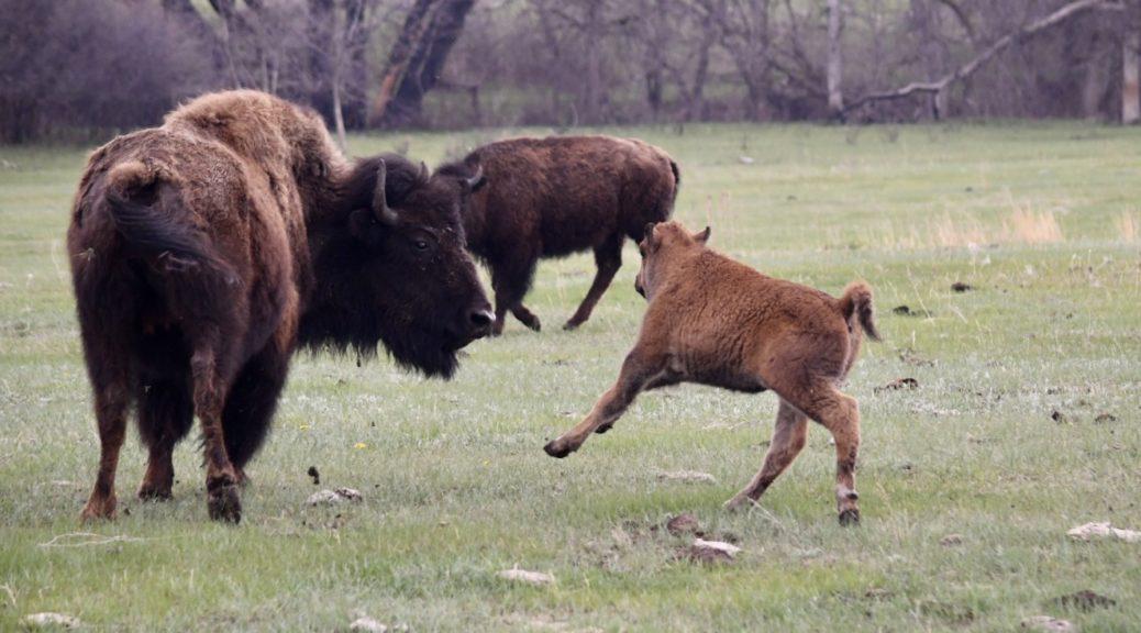Bisonkuh beobachtet ihr Kalb, das über die Wiese springt im Custer State Park