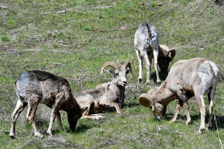 Vier Bighornschafe mit gewundenen Hörnern auf einer Bergwiese; eine Schaf liegt und schaut in die Kamera, die drei anderen außenrum grasen