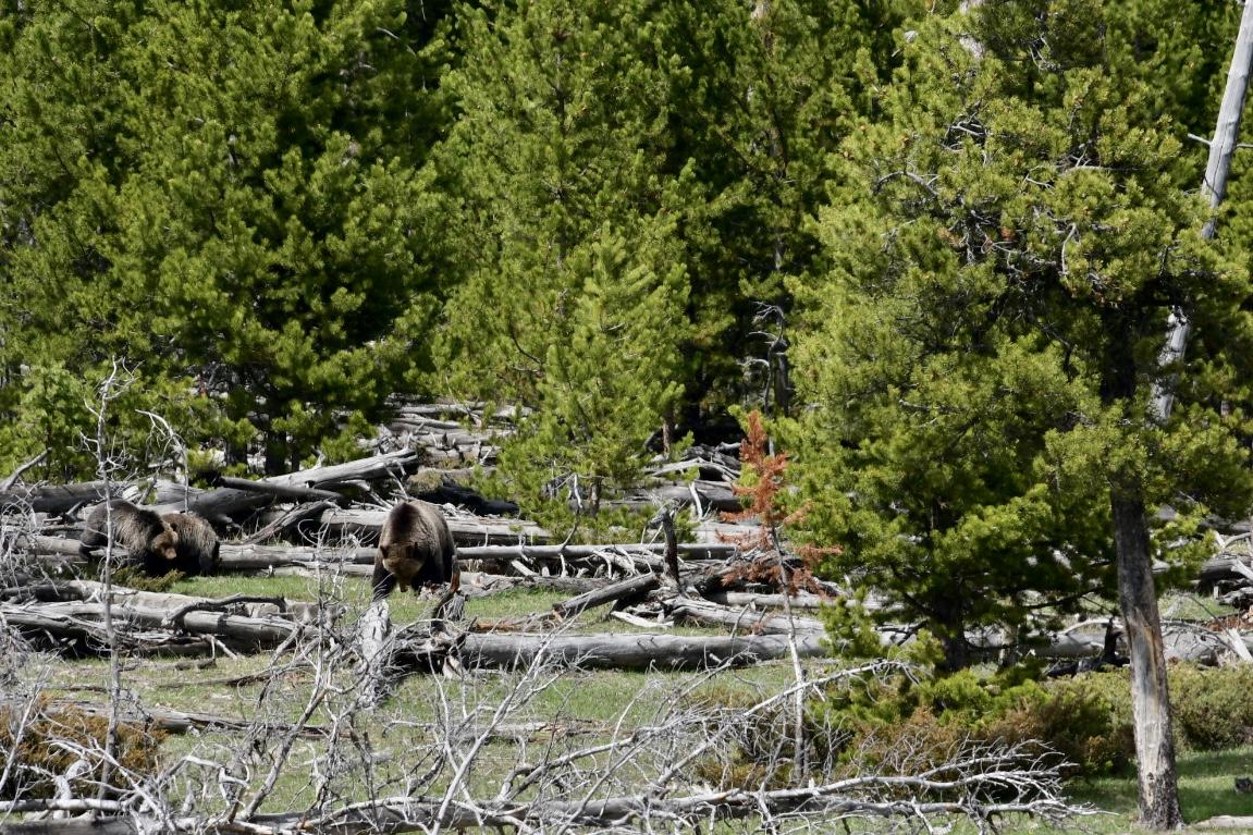 brauner Grizzly-Bär und zwei Jungtiere klettern am Rande eines Nadelwalds über umgestürzte ausgebleichte Bäume