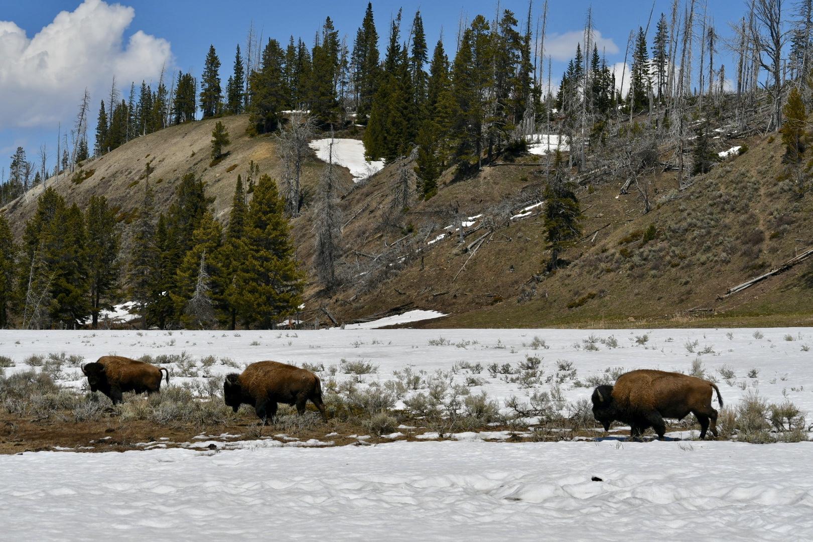 Drei Bisons gehen hintereinander auf teils mit Schnee bedeckter Wiese mit struppigem Gebüsch vor halb bewaldetem Hügel im Yellowstone Nationalpark